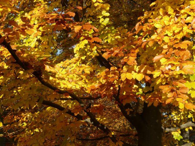 Beech Tree Autumnal Leaves